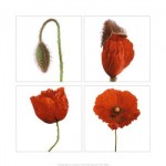 metamorphosis-of-the-poppy-print-c10071623.jpeg