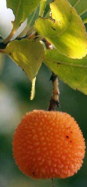 fructul-oranj.jpg