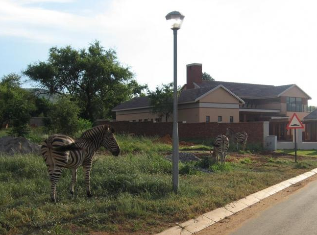 zebra-de-iarba