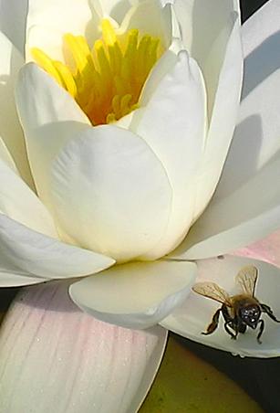 alb-de-miere
