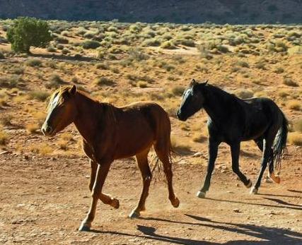 caii-desertului