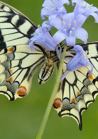 primavara-fluturelui