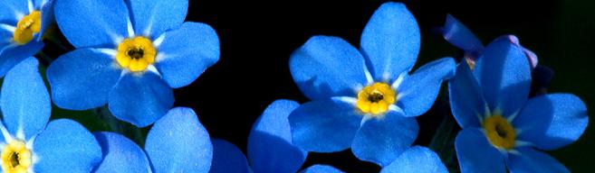albastru de nu ma uita