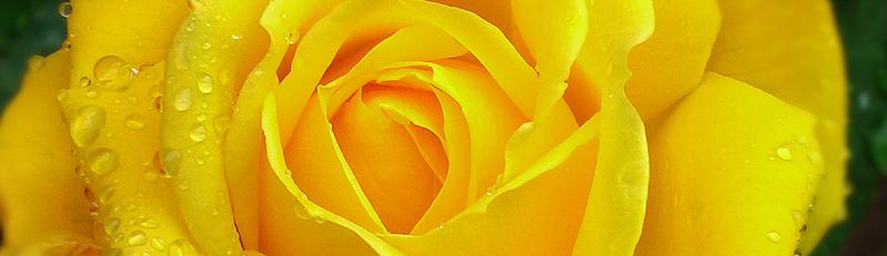 trandafir inrourat