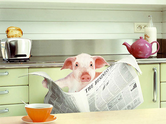 porc cu studii